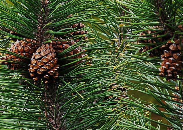 Interneten rendelhető karácsonyfa